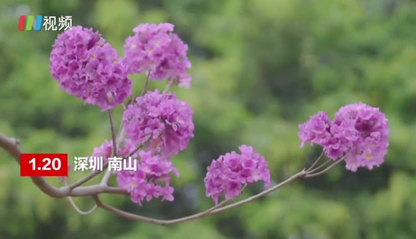 粉紫色花海!深圳紫花风铃木惊艳绽放