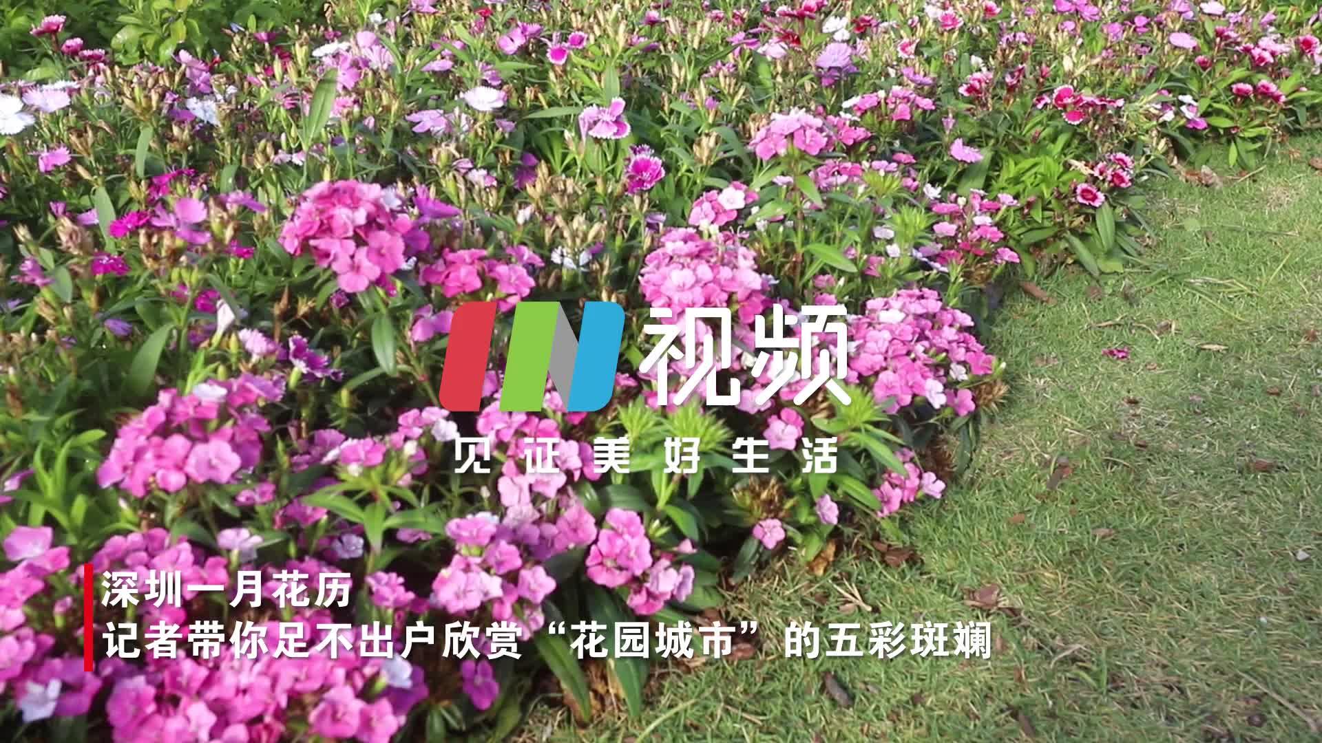一月深圳赏花指南   春梅、火焰木、紫绣球……这份攻略请收下